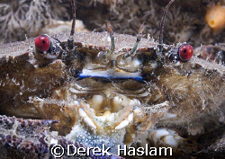 Velvet swimming crab. North Wales. D200, 60mm. by Derek Haslam