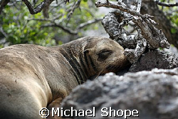 baby sea lion taking a nap in the Galapagos Islands by Michael Shope
