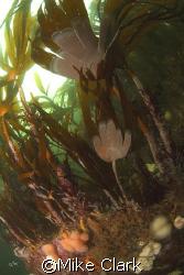 Swirling Kelp by Mike Clark