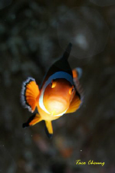 Anemonefish at Bohol by Taco Cheung