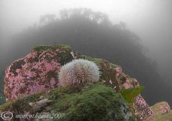 Urchin. Farne Islands. 10.5mm. by Mark Thomas