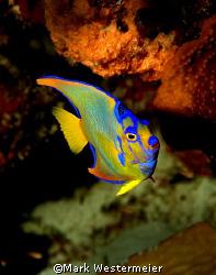 Queen - Image taken in Bonaire with a Nikon D100, 18mm le... by Mark Westermeier