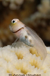 Collar blenny, Ecsenius minutus. Picture taken in Maldives. by Anouk Houben