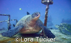 Green Sea Turtle lounging on a wreck by Lora Tucker