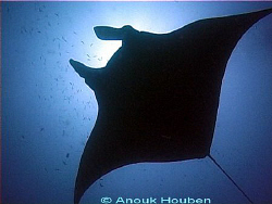 Manta ray, Manta brevirostris. Picture taken in Maldives. by Anouk Houben