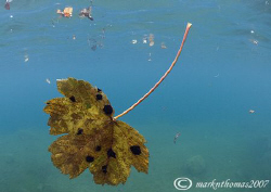 Autumn Leaves. Capernwray. 10.5mm. by Mark Thomas