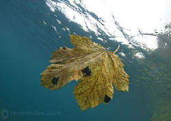 Another very rare leaf ray... Capernwray. D200, 10.5mm. by Derek Haslam