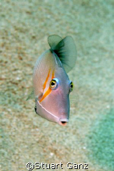 Lei Trigger fish taken with Canon 20D 60MM macro lens by Stuart Ganz