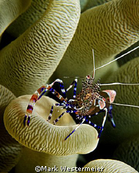 Chillin  - Image taken in Bonaire with a Nikonos RS, 50mm... by Mark Westermeier