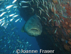 GOLIATH GROUPER ON WRECK