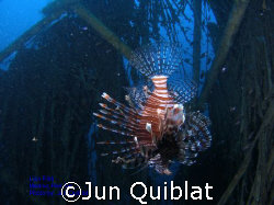 Lion Fish in Medina Pier by Jun Quiblat