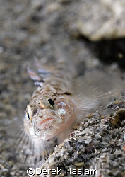 Painted goby. Connemara. D200, 60mm. by Derek Haslam