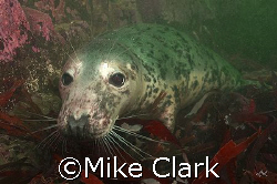 Grey Seal, kissing dome port. Farne Islans, England by Mike Clark