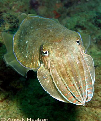 Cuttlefish, Sepia sp. Picture taken on the second reef of... by Anouk Houben