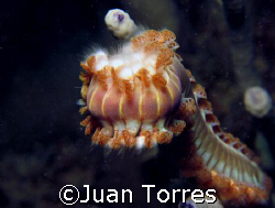Bristle Worm at Cerro Gordo, Puerto Rico by Juan Torres