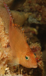 Hawkfish, Cirrhitichthys aprinus. Picture taken on the se... by Anouk Houben