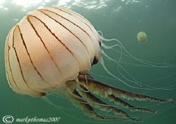 Compass jellyfish. Little Killary, Connemara. 10.5mm. by Mark Thomas