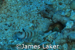 Goby & Shrimp by James Laker