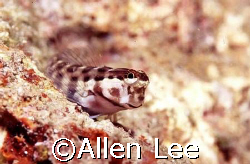 cute blenny.Nikon F-100,105mm macro,RVP 100F. by Allen Lee