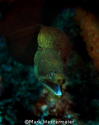 Moray Lunge - Normally a static subject, this one lunged ... by Mark Westermeier