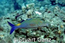 Goat fish, taken with Canon 20D 60 mm macro F5.6 1/125. by Stuart Ganz