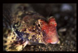Getting close to this dragonet was a challenge because it... by Nonoy Tan