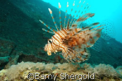 Shot taken from below fish to allow light to show up the ... by Barny Shergold