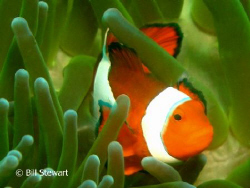 False Clown Anemonefish (Amphiprion ocellaris)  Taken dur... by Bill Stewart