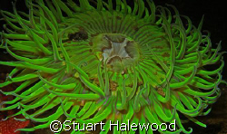 Solitary Green Anemone beckons you to come just a little ... by Stuart Halewood