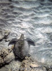 Turtle on the Sand. Maui (near black sand beach, Makenna... by Peter Burford