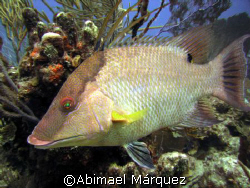 Hogfish, Vieques, Puerto Rico by Abimael Márquez