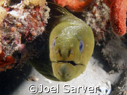 This Green Moray posed for the camera! Palm Beach, Florida by Joel Sarver