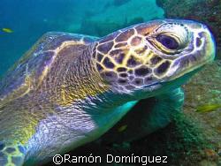Green sea turtle. Sea of Cortéz. by Ramón Domínguez
