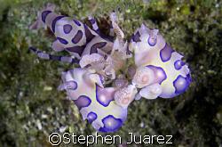 Harlequin Shrimp, Lembeh Strait by Stephen Juarez