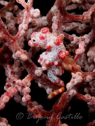 My first Pygmy Seahorse - Taken at Cathedral divesite in ... by Arthur Castillo