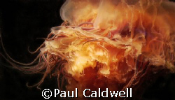 Puget Sound Lion's Mane Jellyfish by Paul Caldwell