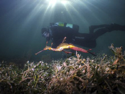 This weedy sea dragon was laden with eggs when I spotted ... by Cal Mero