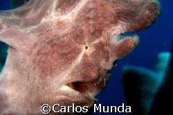 frogfish on candlestick sponge, marissa reef, samal islan... by Carlos Munda