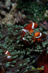 Crown Anemonefish at Bohol by Taco Cheung
