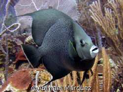 Gray Angelfish, Vieques, Puerto Rico by Abimael Márquez
