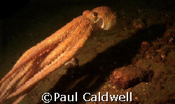 Puget Sound Red Octopus by Paul Caldwell