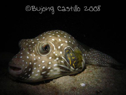 Dozing Puffer - Taken on a night dive at Sabang Wrecks di... by Arthur Castillo