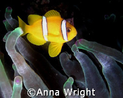 A very small anemone fish taken with an Olympus Camedia i... by Anna Wright
