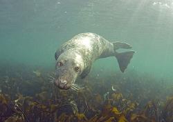 Grey seal. Farne Islands. 10.5mm. by Mark Thomas