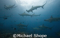 Hammer Heads of the Galapgos Islands. by Michael Shope