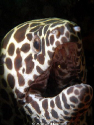 Honeycomb moray, Gymnothorax favagineus. Picture taken on... by Anouk Houben
