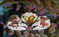 Porcelain Crab by Larissa Roorda