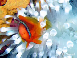 Tomato Anemonefish with Bulb-Tentacle Anemone  taken on N... by Bill Stewart