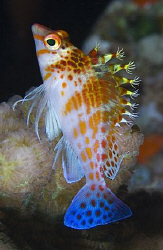 Hawkfish that didn't scamper away before I got his profile. by Larissa Roorda