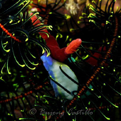 Nudi Crinoid Tangle - Taken at Twin Rocks dive site in An... by Arthur Castillo